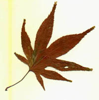 I scanned this Canadian maple leaf from my journal