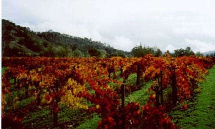 Vincent Arroyo's vineyard in Calistoga